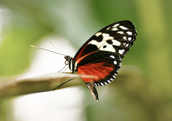 Schmetterling, auf Ast sitzend