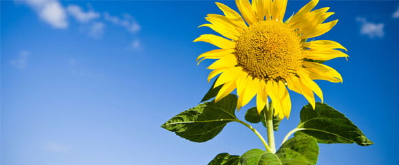 REACH-sunflower-picture