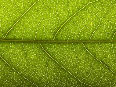 Frunză de aproape