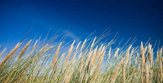 campo spighe di grano