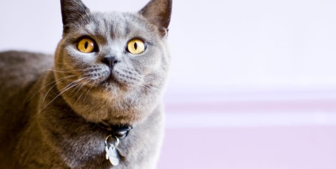 gatto grigio con collare etichettato con etichette per P-touch CUBE
