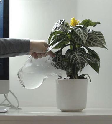 En person vanner en potteplante som står i en hvit blomsterpotte