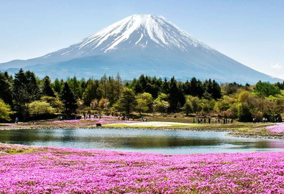 Mount Fuji in the background, lake surrounded by bright pink flowers, trees